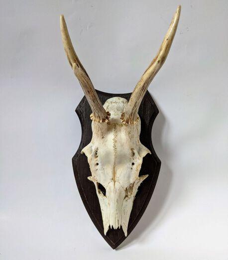 Trofeum myśliwskie - poroże młodego jelenia , (1) - Inne