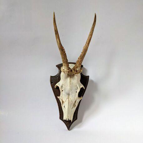 Trofeum myśliwskie - poroże młodej gazeli, (1) - Inne